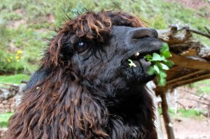 Llama farm - brown alpaca_jpg