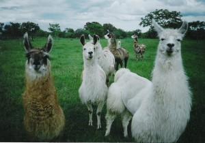 Llama-pic-group-face