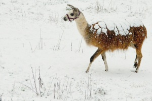 Quilcene llama walking while covered with snow