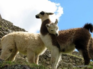 Travel-Photo-Roulette-Round-32-Winner-Llamas-in-Love-at-Machu-Picchu-Peru